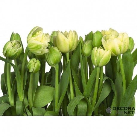 Fotomural FLORAL AND WELLNESS 8-900 Tulips